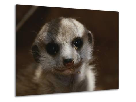 A Close View of a Meerkat (Suricata Suricatta) Pup-Mattias Klum-Metal Print