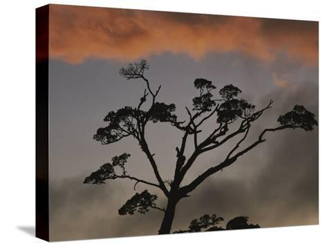 Rain Forest Tree Silhouetted against the Sky, Costa Rica-Michael Melford-Stretched Canvas Print