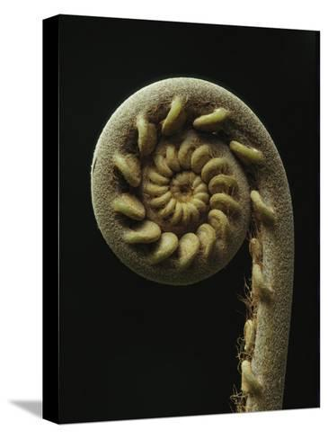 A Close View of the Spiral of a Fern Fiddlehead-Tim Laman-Stretched Canvas Print
