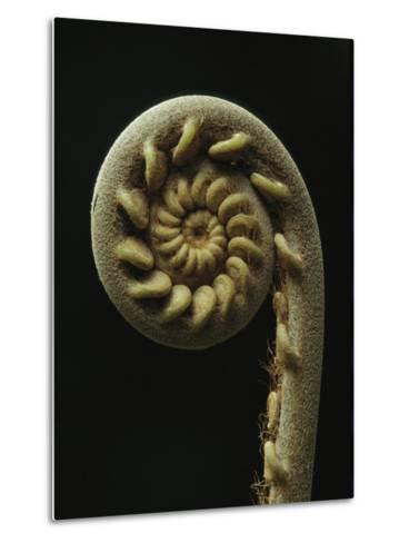 A Close View of the Spiral of a Fern Fiddlehead-Tim Laman-Metal Print