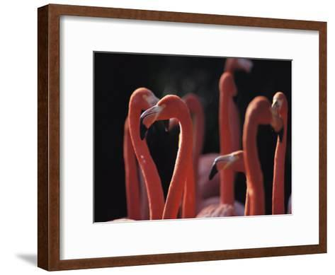 A Group of Greater Flamingos in Africa-Tim Laman-Framed Art Print