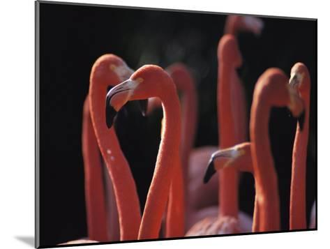 A Group of Greater Flamingos in Africa-Tim Laman-Mounted Photographic Print