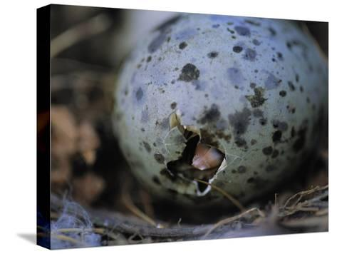 Close View of Glaucous-Winged Gull Egg Hatching-Joel Sartore-Stretched Canvas Print