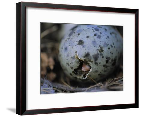 Close View of Glaucous-Winged Gull Egg Hatching-Joel Sartore-Framed Art Print
