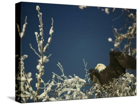 Bald Eagle on Snow-Covered Tree-Steve Raymer-Stretched Canvas Print