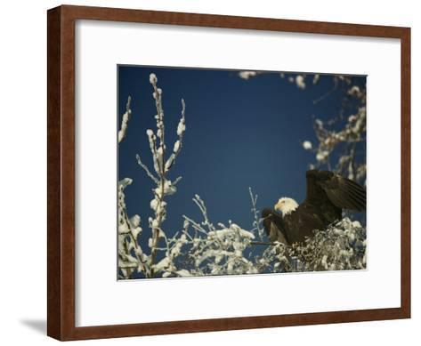 Bald Eagle on Snow-Covered Tree-Steve Raymer-Framed Art Print