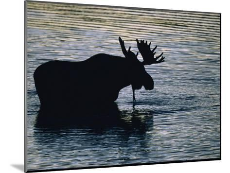 Moose Wading in a Kettle Lake, His Body Silhouetted against the Water-Michael Melford-Mounted Photographic Print