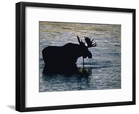 Moose Wading in a Kettle Lake, His Body Silhouetted against the Water-Michael Melford-Framed Art Print