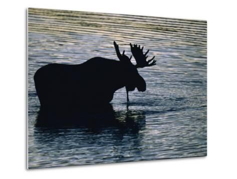 Moose Wading in a Kettle Lake, His Body Silhouetted against the Water-Michael Melford-Metal Print