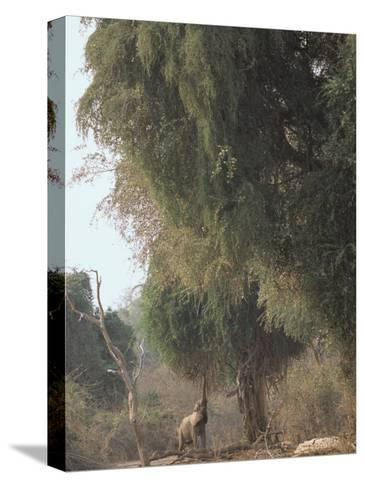 An African Elephant Reaches for Ana Tree Leaves-Beverly Joubert-Stretched Canvas Print
