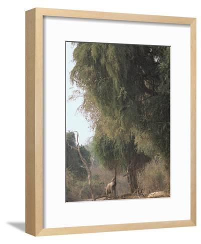 An African Elephant Reaches for Ana Tree Leaves-Beverly Joubert-Framed Art Print