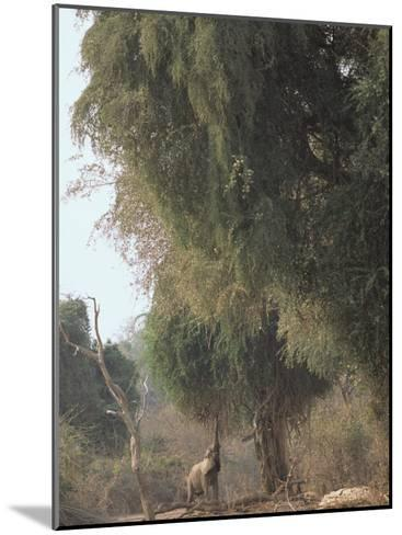 An African Elephant Reaches for Ana Tree Leaves-Beverly Joubert-Mounted Photographic Print
