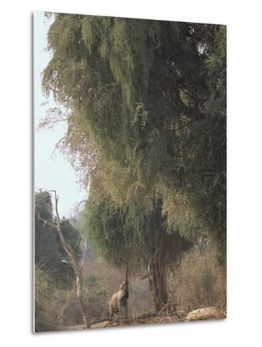 An African Elephant Reaches for Ana Tree Leaves-Beverly Joubert-Metal Print
