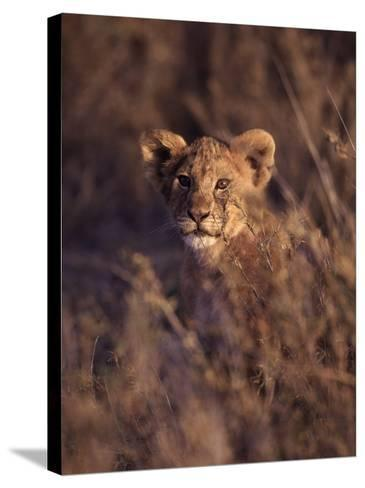 African Lion Cub, Panthera Leo-D^ Robert Franz-Stretched Canvas Print
