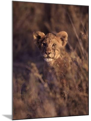 African Lion Cub, Panthera Leo-D^ Robert Franz-Mounted Photographic Print