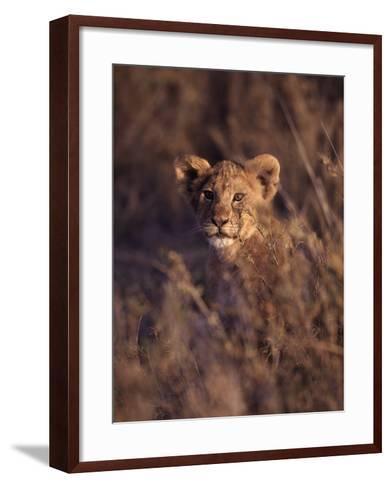 African Lion Cub, Panthera Leo-D^ Robert Franz-Framed Art Print