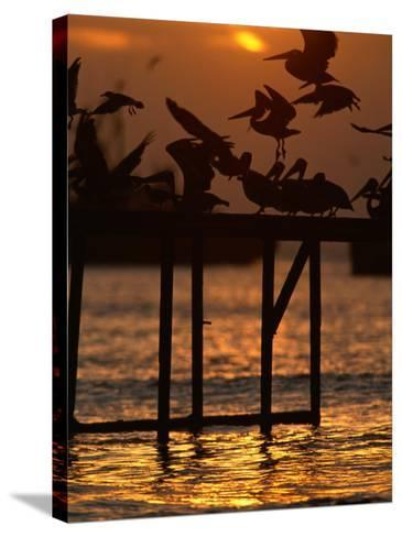Pelicans Congregate on Pier at Chorro Beach, Arica, Tarapaca, Chile-Paul Kennedy-Stretched Canvas Print