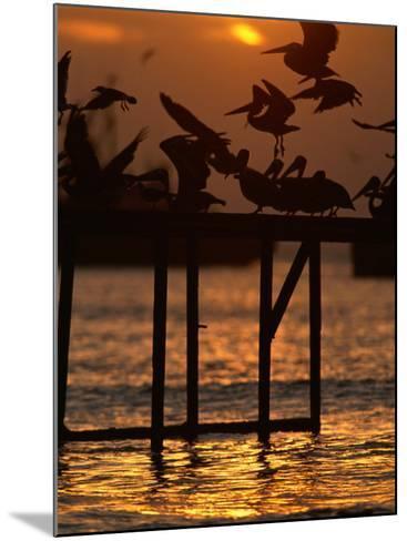 Pelicans Congregate on Pier at Chorro Beach, Arica, Tarapaca, Chile-Paul Kennedy-Mounted Photographic Print