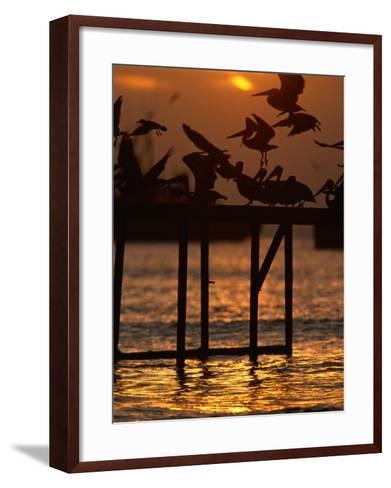 Pelicans Congregate on Pier at Chorro Beach, Arica, Tarapaca, Chile-Paul Kennedy-Framed Art Print