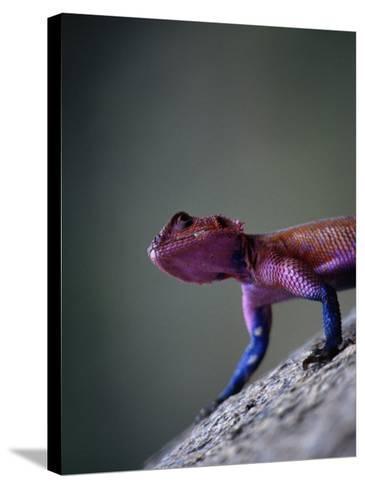 Agama Lizard (Agama Agama), Serengeti National Park, Arusha, Tanzania-Lawrence Worcester-Stretched Canvas Print