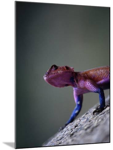 Agama Lizard (Agama Agama), Serengeti National Park, Arusha, Tanzania-Lawrence Worcester-Mounted Photographic Print