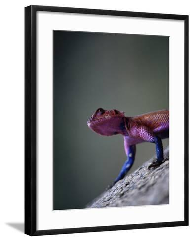 Agama Lizard (Agama Agama), Serengeti National Park, Arusha, Tanzania-Lawrence Worcester-Framed Art Print