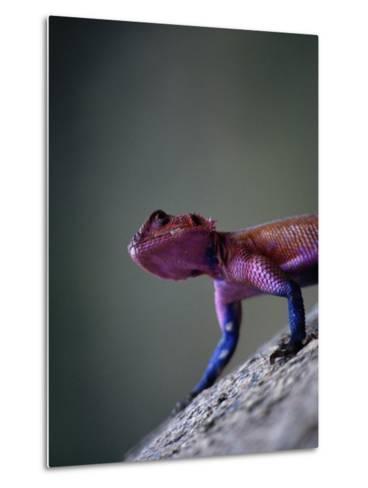 Agama Lizard (Agama Agama), Serengeti National Park, Arusha, Tanzania-Lawrence Worcester-Metal Print