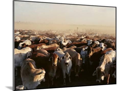 Brahman Cattle are Herded into a Pen on a Simpson Desert Cattle Station-Medford Taylor-Mounted Photographic Print