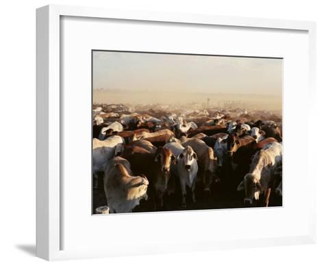 Brahman Cattle are Herded into a Pen on a Simpson Desert Cattle Station-Medford Taylor-Framed Art Print