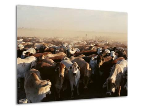 Brahman Cattle are Herded into a Pen on a Simpson Desert Cattle Station-Medford Taylor-Metal Print