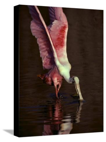 A Roseate Spoonbill Stretches its Wings as it Forages for Food-Medford Taylor-Stretched Canvas Print
