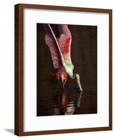 A Roseate Spoonbill Stretches its Wings as it Forages for Food-Medford Taylor-Framed Art Print