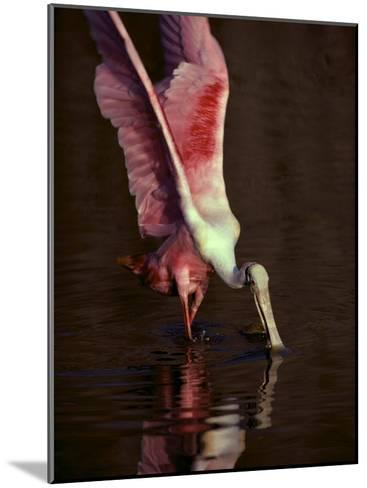 A Roseate Spoonbill Stretches its Wings as it Forages for Food-Medford Taylor-Mounted Photographic Print