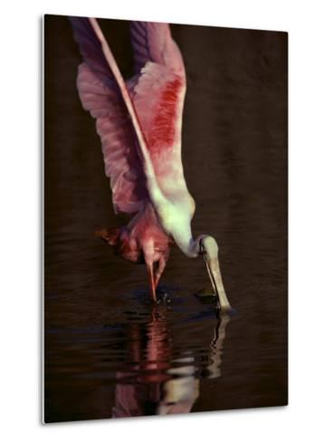 A Roseate Spoonbill Stretches its Wings as it Forages for Food-Medford Taylor-Metal Print