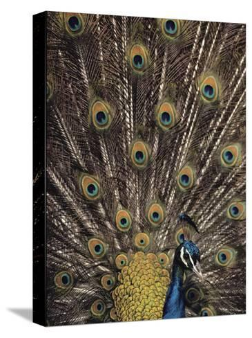 Male Peacock with Plummage Displayed-Medford Taylor-Stretched Canvas Print