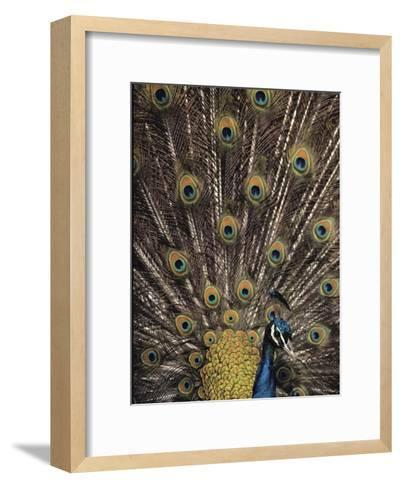 Male Peacock with Plummage Displayed-Medford Taylor-Framed Art Print