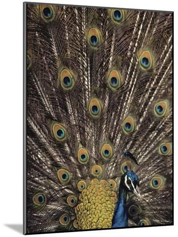 Male Peacock with Plummage Displayed-Medford Taylor-Mounted Photographic Print