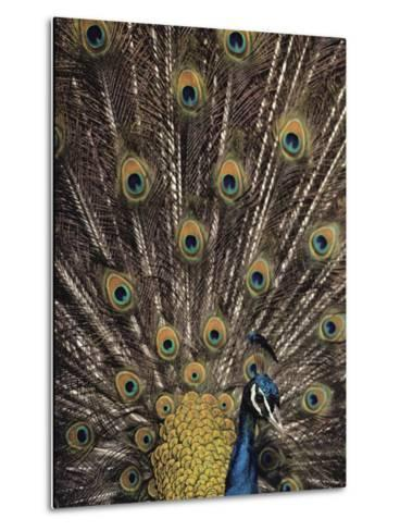 Male Peacock with Plummage Displayed-Medford Taylor-Metal Print