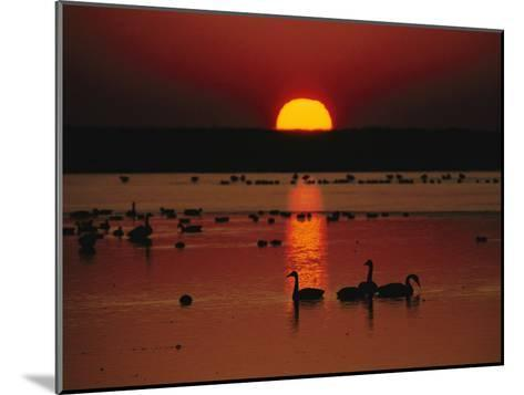 Sunset over Chincoteague Island Marsh and Geese, Virginia--Mounted Photographic Print