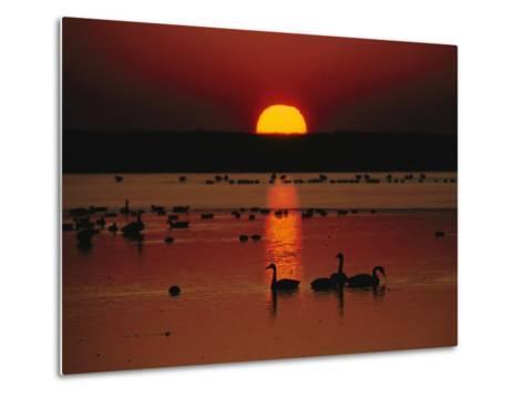 Sunset over Chincoteague Island Marsh and Geese, Virginia--Metal Print