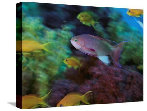A Colorful Anthias Fish Swims About a Reef-Tim Laman-Stretched Canvas Print
