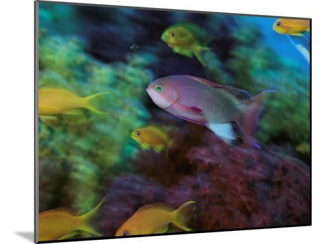 A Colorful Anthias Fish Swims About a Reef-Tim Laman-Mounted Photographic Print
