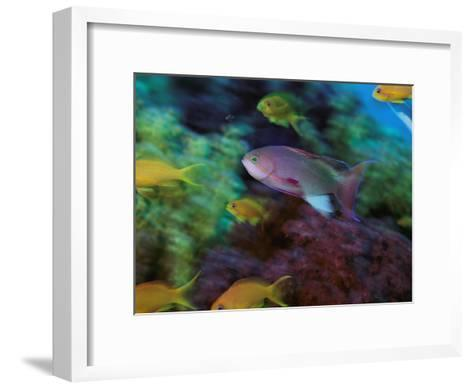 A Colorful Anthias Fish Swims About a Reef-Tim Laman-Framed Art Print