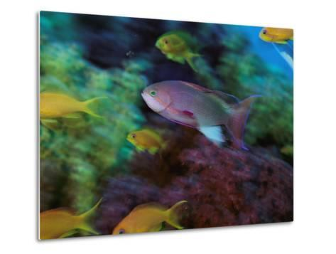 A Colorful Anthias Fish Swims About a Reef-Tim Laman-Metal Print