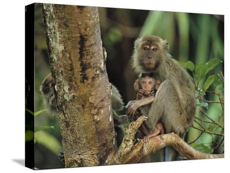 Mother and Baby Monkey Sit on a Tree Limb-Tim Laman-Stretched Canvas Print