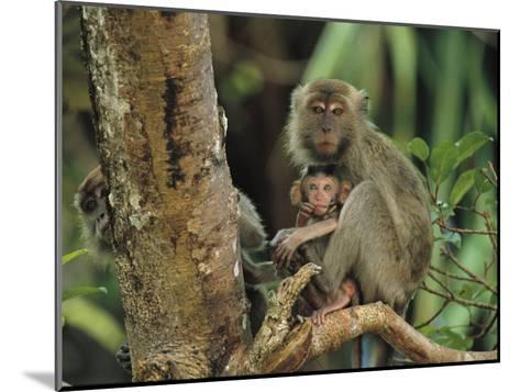 Mother and Baby Monkey Sit on a Tree Limb-Tim Laman-Mounted Photographic Print