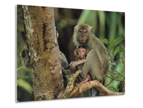 Mother and Baby Monkey Sit on a Tree Limb-Tim Laman-Metal Print
