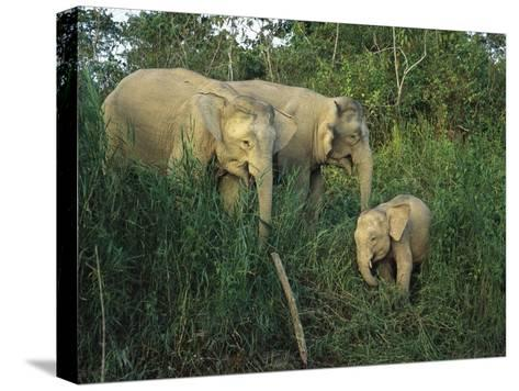 A Juvenile Asian Elephant with Two Adults in Tall Grasses-Tim Laman-Stretched Canvas Print