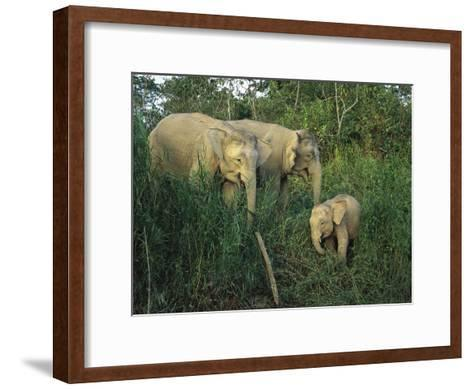 A Juvenile Asian Elephant with Two Adults in Tall Grasses-Tim Laman-Framed Art Print