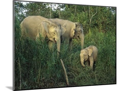 A Juvenile Asian Elephant with Two Adults in Tall Grasses-Tim Laman-Mounted Photographic Print